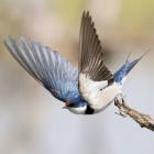 _Swallow_