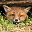 Fox.lover