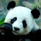 _panda
