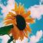 Sunflower._.