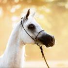 Fire_horses