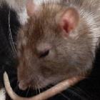 KochamSzczury