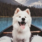Summer_Samoyed