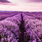 Lavender.Horse